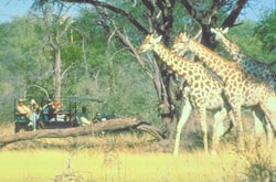 Giraffen Hwange Nationalpark